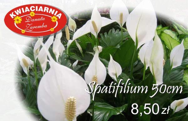 spatifilum